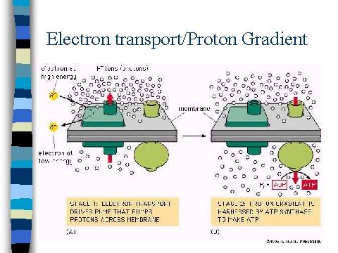 Electron Transport Proton Gradient