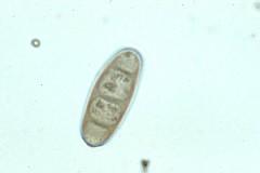 spori helminthosporium