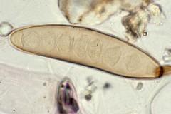 Drechslera helminthosporium Medicamente viermi gv, Drechslera helminthosporium