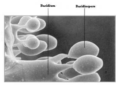 This pictureshows the basidiospores coming out from the basidi or basidium.